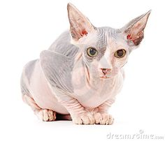 Photo about Sphynx cat, isolated, over white background. Image of cute, donsphinx, litter - 18824083 Hairless Kitten, Sphynx, Graphic Design Layouts, Modern Graphic Design, Sphinx Cat, Devon Rex, Kittens, Lion Sculpture, Stock Photos