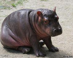 Baby hippo ❥♡♥ :D
