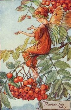 Mountain Ash fairy.
