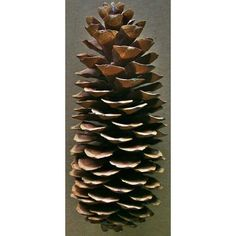 @curiouscountry posted to Instagram: These giant Sugar Pine Cones are a favorite for Winter and Christmas decor! They are oversized and make a huge statement on your fireplace mantle, shelves, kitchen windowsill or as part of your table setting. Limited supply this year-- make sure you order ASAP! #christmas #naturaldecor #christmasdecor #winterdecor #holidays #holidaydecor #christmas2020 #christmastree #winter #christmaseve #christmasdinner #holidaydecorating #holidaydecor #christmasdecorating