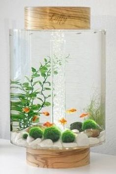 Marimo Moss on Pinterest | Marimo, Marimo Moss Ball and Aquarium