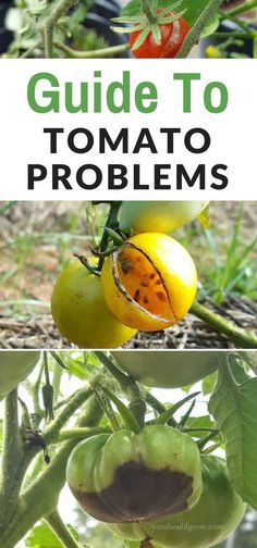 Having trouble with your tomatoes? The most frustrating part of tomato growing is dealing with tomato problems. It's so irritating to wait all year for your homegrown tomatoes only to have them ruined by disease, pests, or rotten spots.