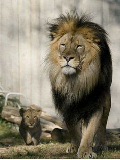 Smithsonian's National Zoo's Lion Cubs Now on Exhibit - Smithsonian's National Zoo's Lion Cubs Now on Exhibit Smithsonian's National Zoo's Lion Cubs Now on Exhibit Zoo Animals, Animals And Pets, Cute Animals, Beautiful Lion, Animals Beautiful, Lion Pictures, Animal Pictures, Lion Tigre, Lions Live