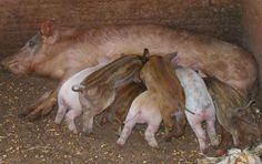 """""""O Grito do Bicho"""": Vende-se pit bull para caçada de javalis"""