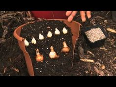 Learn when to plant flower bulbs for spring blooms and how to plant tulips and daffodils with William Moss. For more information and gardening tips, visit Lo. Spring Bulbs, Spring Blooms, Spring Flowers, My Flower, Flower Pots, Daffodils Planting, Yellow Plants, Flower Landscape, Fall Plants