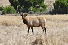 While in town for the festival, visit the once nearly extinct Tule Elk.