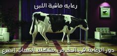 رعاية ماشية اللبن