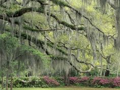spanish moss, savannah, GA