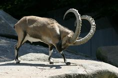 Nubian goat - It 's the Nubian ibex, also known as ibex Syria. It 'a wild goat native of the Arabian Peninsula and north-east. It is closely related to the wild goat of the Alps - Pixdaus