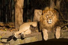 #Dortmund #Zoo #Tierpark #Löwe