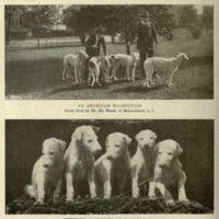 Borzois, 1905 Breeder Dr. De Mund in LI