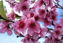 #MELLIFERES PECHER  #arbres floraison :  avril – mai Mademoiselle Bio, Avril Mai, Peach Trees, Bloom, Flowers, Plants, Gardens, Plant, Royal Icing Flowers