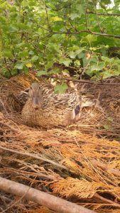 De eerste aardbeien en het tweede nest.