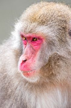 Iwatayama Monkey Park is one of Kyoto's main attractions. Visiting Iwatayama Monkey Park will ensure you get to see the famous Japanese Macaques. Primates, Japanese Monkey, Japanese Animals, Monkey Park, Ape Monkey, Jungle Animals, Animals And Pets, Cute Animals, Most Beautiful Animals