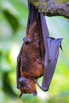 llbwwb: (via / The Bat de couchage par AnnJie) Cute Reptiles, Fruit Bat, Power Animal, Vampire Bat, Cute Animal Pictures, Animal Pics, Creatures Of The Night, Animals Of The World, Beautiful Birds