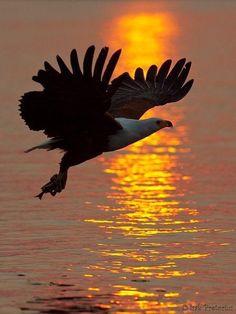 Aigle chauve (Bald Eagle) au Soleil couchant -