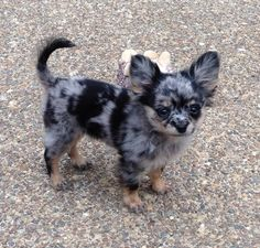 Kee 3 months old!Kee Kee 3 months old! Super Cute Animals, Cute Baby Animals, Animals And Pets, Cute Dogs And Puppies, Pet Dogs, Cutest Dogs, Doggies, Baby Chihuahua, Blue Merle Chihuahua