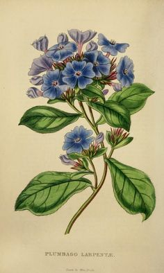 Plumbago Larpentae. Plate from 'The Florist and Garden Miscellany. Published 1849 by Chapman and Hall in London .