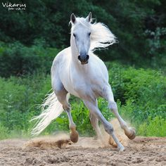 Arabian stallion Kollizey