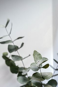 EUCALYPTUS: A great cleansing and purifying agent that helps rejuvenate and invigorate the skin. Its antibacterial, antifungal and anti-inflammatory properties also make a great organic treatment for acne and other minor skin problems. This key ingredient is used in our Exfoliating Face Scrub. Exfoliating Face Scrub, Exfoliate Face, Fern Plant, Plant Leaves, Cream Aesthetic, Plant Aesthetic, Big Vases, Leaf Images, Leaf Texture