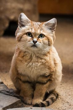 The Sand Cat (Felis margarita) :: also known as the sand dune cat, is the only felid found primarily in true desert, and has a wide but apparently disjunct distribution through the deserts of northern Africa and southwest and central Asia. Since 2002 this Small Wild Cats, Big Cats, Crazy Cats, Cool Cats, Cats And Kittens, Cats Bus, Animals And Pets, Funny Animals, Cute Animals