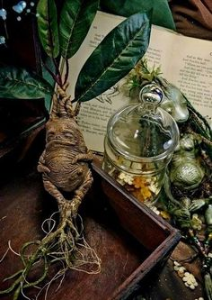 Find images and videos about harry potter, hogwarts and herbology on We Heart It - the app to get lost in what you love. Deco Harry Potter, Theme Harry Potter, Harry Potter World, Harry Potter Mandrake, Harry Potter Props, Mandrake Root, Anniversaire Harry Potter, Neville Longbottom, Mischief Managed