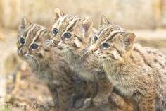Rare and endangered triplets - fishing cat kittens