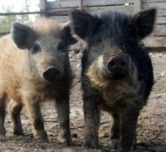 THIS IS UNNECESSARY & TERRIBLE NEWS... Michigan Attacks Heritage Hogs; Farmers Fight Back - Homesteading and Livestock - MOTHER EARTH NEWS