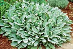 Big Ears Lamb's Ear: Lamb's ears (Stachys byzantina, zones 4 to 9), a low-growing, spreading plant, it makes a lush carpet with virtually no irrigation required; ground cover, a filler or edging.