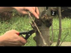 How To Prune Apple Trees Between Autumn And Spring - YouTube
