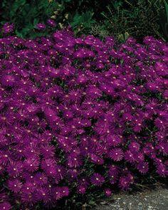 Ice Plant, Purple. dutchgardens.com