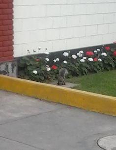 Una ardilla en plena calle de Miraflores, por el Colegio de Abogados en Santa Cruz. #ardilla #squirrel #animal #animals #lima #peru