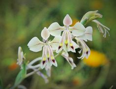 Gladiolus orchidiflorus