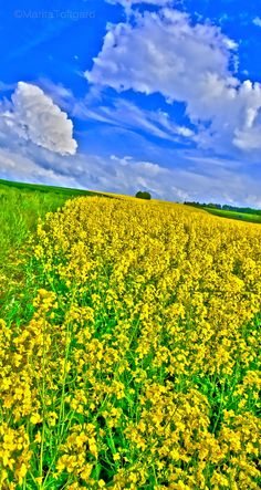 Yellow flowerfield in Provence, France. Photo by MaritaToftgard