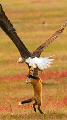 Brave fox kit battles eagle for rabbit. See whole drama here: https://kandoli.info/photographer-shoots-epic-battle-between-cat-fox-and-eagle-over-rabbit-and-it-gets-more-and-more-epic-with-each-photo/
