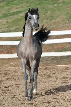 TF Royal Shahbaz (Falcon BHF x Maya Naufali) 2006 grey Egyptian-related stallion bred by Talaria Farms, Georgia Beautiful Arabian Horses, Majestic Horse, Pretty Horses, Horse Love, Baby Horses, Wild Horses, Horse Pictures, Animal Pictures, Most Beautiful Animals