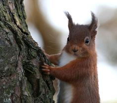 Red Squirrel | by Hilary Chambers - out of action again