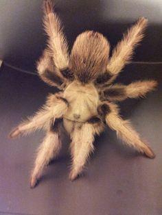 """Zia"" (Aphonopelma chalcodes):  A huge female I found in the Arizona desert."