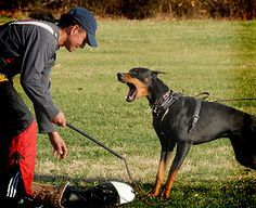 Why the Doberman is Different: *Excellent article on Doberman Training and the differences in breeds*