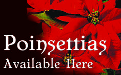 Poinsettias Available Here Design 4 - 4' x 2.5' Perfect for retail stores, small businesses, churches, garden centers and more! Advertise when your holiday poinsettia selections have arrived. Customization on design and size available upon request at no additional charge. Message @SignedandZealed or visit www.signedandzealed.com for more information.