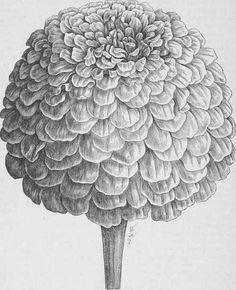 zinnia drawing