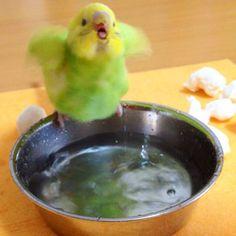 Der mini-kleine Welli versucht in die Badeschüssel zu hüpfen, aber so richtig trauen tut er sich nicht!