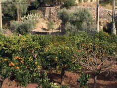 Narancsfák Sóllerben / Orange trees in Sóller #soller #mallorca #travel #nature #holiday