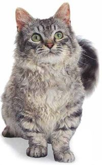By breeding a Munchkin with a LaPerm - and adding a lot of luck - there may be a short-legged kitten born with low-shedding fur. This breed is currently in development and has been created by introducing various Rex genes into the gene pool of the shortlegged Munchkin breed.