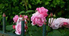 Claves para cultivar los rosales más bellos