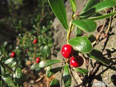 Pic of Growing Lingonberries, Foxberry, Cowberry