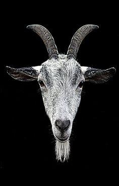 3ed77d7de 10 Best Tattoo images in 2018 | Goats, Tattoo goat, Goat