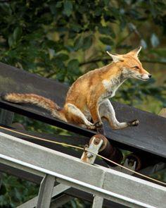 Wheeeeeeeeee! *fox on a slide*