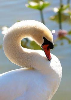 Swan. ..very beautiful!