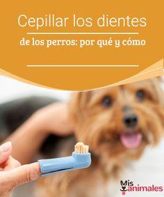Cepillar los dientes de los perros: por qué y cómo  Si aún no sabes cómo se deben cepillar los dientes de los perros, consulta este artículo para que la dentadura de tu mascota luzca saludable.